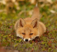 Wildlife Photography: Red Fox Nestled Down. This Fox is so Pretty! Nature Animals, Woodland Animals, Animals And Pets, Baby Animals, Cute Animals, Strange Animals, Wild Animals, Beautiful Creatures, Animals Beautiful