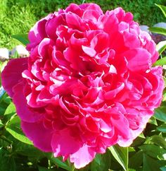 A photo for my Day 14 effort: a glorious day and a glorious peony!