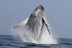 Balene, Mare #Bermuda http://www.gotobermuda.it/default/