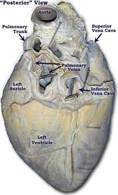 Photo of another Pig Heart-Posterior View