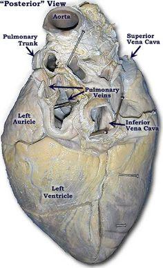 Multiple good visuals for pig heart dissection   Teaching ...  Multiple good v...