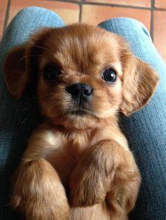 Cavalier King Charles spaniel puppy. In LOVE!