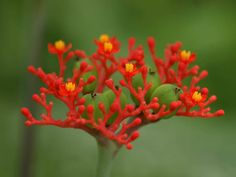 Jatropha podagrica - Buddha Belly, Bottleplant Shrub is a tropical, frost-sensitive, succulent shrub, up to 8 feet (2.4 m) tall (usually up to 3 feet...
