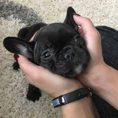 The major breeds of bulldogs are English bulldog, American bulldog, and French bulldog. The bulldog has a broad shoulder which matches with the head. French Bulldog Blue, French Bulldog Puppies, French Bulldogs, Cute Puppies, Cute Dogs, Dogs And Puppies, Doggies, Animals And Pets, Baby Animals