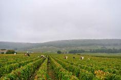 Ernte 2013 beim Bio-Spitzenweingut Domaine Chapelle, Bourgogne.  Alle BioWeine von Chapelle finden Sie hier: http://www.bioweinreich.com/shop/BioWeine/Nach_Weingut/Domaine_Chapelle