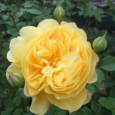 Poet's Wife David Austin Rose added spring 20162f734e1ff62c64a8437be2d20804e9df.jpg (236×236)