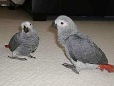 African Grey Parrot Care: 7 Things To Remember #parrotcare