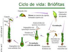 No esporófito possui uma haste e uma cápsula. No interior da cápsula formam-se os esporos. Quando maduros, os esporos são liberados e podem germinar no solo úmido. Cada esporo, então, pode se desenvolver e originar um novo musgo verde - a fase sexuada chamada gametófito.