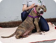 American Pit Bull Terrier Mix Dog for adoption in Mt Vernon, New York - Emma