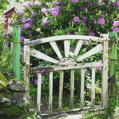 Peeling #gate - #overgrown #garden - beautiful #rhododendron  #gardengate #overgrowngarden #green #secretgarden #trädgårdsgrind #solgrind #trädgård #igenvuxet #igenvuxenträdgård #vildvuxet #vildvuxen #grönt #mysweden #mittsverige #swedenisfantastic #västsverige #westsweden #shabby #peelingpaint