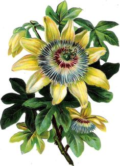 Flower Images, Flower Pictures, Art Pictures, Flower Art, Botanical Drawings, Botanical Prints, Passion Fruit Flower, Chinese Flowers, Art Vintage