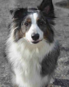 Available for adoption - Jake is a male dog, Australian Shepherd, located at Puppy Love Rescue in West Bend, WI.