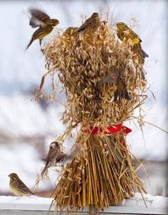 On Christmas morning in Scandinavia every gable, gateway, or barn-door, is decorated with a sheaf of grain fixed on the top of a tall pole, wherefrom it is intended that the birds should make their Christmas dinner.