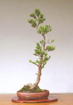 Podocarpus Bonsai, House Plants, Planting Flowers, Greenery, Gardening, Interiors, Image, Plants, Indoor House Plants