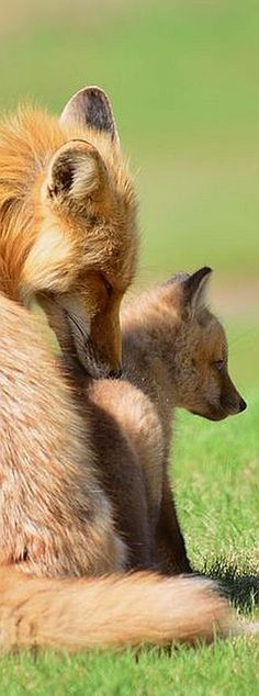 lovely touch #Photo by Kate M. #fox cub foxes love cute animal wildlife wilderness nature