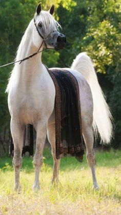 Gorgeous Grey Arabian with lovely blanket