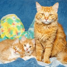 We admit it... we're a little biased with our choices for this week's pet flyer.  These 5 cuties have been here a while and we have just fallen in love. This orange beauty Opal (ID 575447) is no exception she has positively worked her way into our hearts. She gave birth to a little of gorgeous cream sickle-colored kittens. All of her babies have already found homes but Opal is still patiently waiting. This sweetie is even great with kids cats and dogs. . . . . . . #cat #cats…