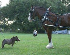 The World's Smallest Horse: cm inches) Tall Paul and Kay Goessling miniature horse breeders own a tall 60 lb. dwarf-version of the miniature horse breed named Thumbelina, and it is the smallest horse in the world. Big Horses, Funny Horses, Horse Love, Animals Of The World, Animals And Pets, Funny Animals, Cute Animals, Farm Animals, Beautiful Horses