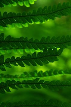 I am always experimenting with ferns. So graceful, even when dried. Green Trees, Green Leaves, Plant Leaves, World Of Color, Color Of Life, Go Green, Green Colors, Monochrom, Shades Of Green