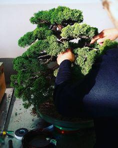 """""""Mi piace"""": 0, commenti: 1 - L'ABC del Verde (@abcdelverde) su Instagram: """"Juniperus  Ginepro in lavorazione step two  L'ABC del Verde #bonsai #ginepro #juniperus  #nature…"""""""