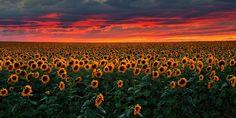 """A Billion Sunflowers"" by stanfr (http://bit.ly/1sJlHAR)"
