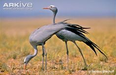 The blue crane has the most restricted distribution of the 15 crane species (7). It is endemic to southern Africa, with almost all of the population occurring in South Africa (8). There are also small and declining breeding populations in northern Namibia (comprising of about 35 to 40 birds in 2010) and western Swaziland, although the population may now be extinct there (2) (9). This crane occurs in Lesotho, Zimbabwe and Botswana