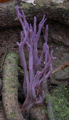 Violet Coral fungi (Clavaria zollingeri) ~ By Peter Lyle