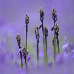 Budding Bluebells | by Alan MacKenzie