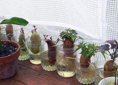 Nem is hiszed, milyen csodaszép növény lesz belőle!, és még a levele ehető!