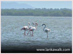 Flamingos Birds Family, Bundala National Park, Sri Lanka