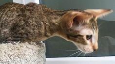 Прекрасная кошечка ориентальной породы, шоколадное пятно.🐱Много фото смотрите по ссылке