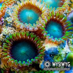 Radioactive Dragon's Eye zoas (200 gallon)
