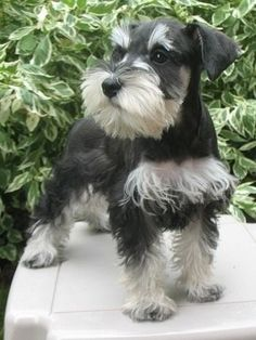 Miniature Schnauzer...Do you like my chest hair?