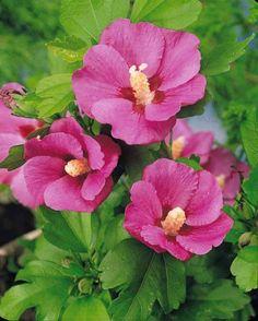#Hibiscus de jardin sur tige rouge