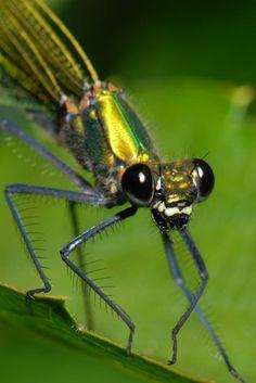 David Element's Wildlife Web Page Dragonflies and Damselflies 15 - Banded Demoiselles 2