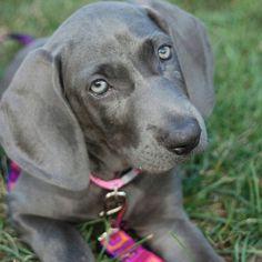 The Cutest Dog Photos In Existence Weimaraner Puppies - 29 cutest dog photos existence
