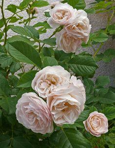 Hybrid Musk Rose: Rosa 'Bouquet Parfait' (Belgium, 1989); black walnut tolerant