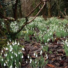 """Ephemeral: Snowdrops. Less than 6"""", blooms very early spring and then goes dormant."""