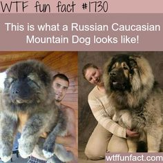 Russian Caucasian Mountain Dog. Would love to have one! Adorable