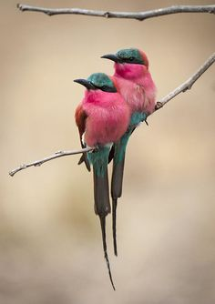 ᏩσяɠєσนᎦ βįʀɖᏕ (Puffy Bee-eaters by Sharon Haeger)