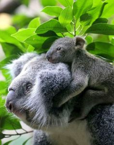 Koalas Mother Love