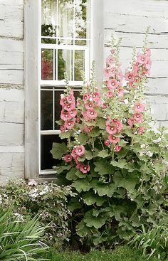 Hollyhock Shed                                                                                                                                                                                 More