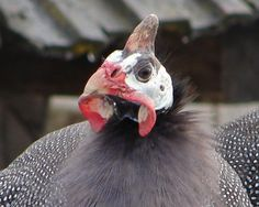 At maturity, cocks and hens have identical plumage. Cocks, however, are slightly larger. The red wattles dangling beneath their chins are slightly bigger and cup away more from their necks. Cocks also have larger helmets that stand up straighter than the hens: Still, helmet size and other sexual differences are quite subtle.