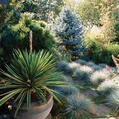 Pay Attention to Texture - love this landscaping idea, which features tidy mounds of blue fescue, punctuated by an upright pyramid of Colorado blue spruce and dwarf black pine. Garden Landscape Design, Plants, Colorful Shrubs, Landscape Design, Ornamental Grasses, Colorado Blue Spruce, Perennials, Mediterranean Garden, Landscape