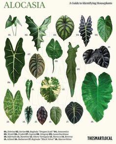 Exotic Plants, Tropical Plants, Garden Plants, Indoor Plants, Trees To Plant, Plant Leaves, Leaf Identification, Alocasia Plant, Household Plants
