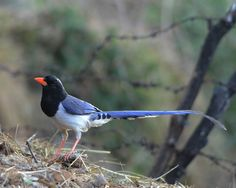 The Benog Wildlife Sanctuary in #Mussoorie is a birdwatcher's haven and is part of the Rajaji National Park. It houses the rare Himalayan bird species such as the near-extinct mountain quail and red-billed blue magpie.  Photo courtesy: indianaturewatch.net