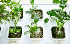 Nahaufnahme von Pflanzen, die in VÄXER Keim-Set mit Deckel in Grau wachsen