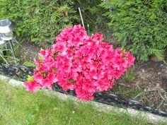 azalia in my garden this year