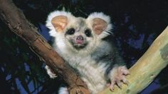 Scientists warn greater glider faces extinction and want it protected from logging
