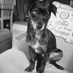 Doing my best to look adorable.   Treat your pup like a star Use coupon code PIRATEDOG for 10% off your entire @naturaldogcompany order  #squee #squeedog #adorable #adorabledog #cutedog #blackandwhite #bwphoto #adorbs #sweetdog #smalldog #dogsoncouches #blackdog #littledog #socute #blackandwhitedogphotos #chiweeniesofinstagram #chiweenie #chiweeniesofig #chiweenienation #chiweenielove #chiweenielover #ilovemychiweenie #chiweenielife #dogsofinstagram #dogoftheday #buzzfeedanimals…